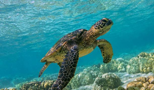 green-sea-turtle-1500x879